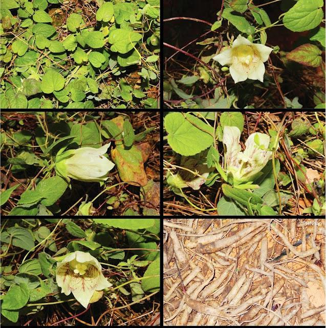 ĐẢNG SÂM - Codonopsis sp - Nguyên liệu làm Thuốc Bổ, Thuốc Bồi Dưỡng