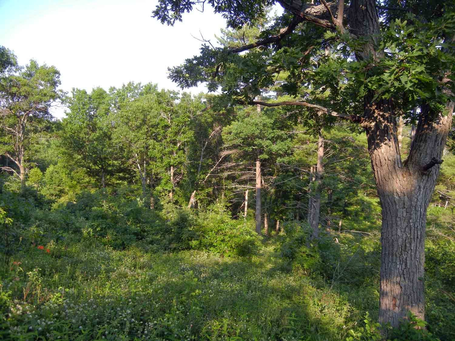 Black oak savanna at the Alderville site