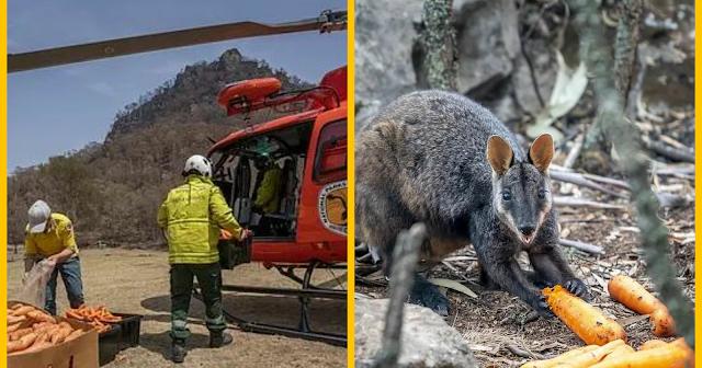 استراليا تستخدم المروحيات لإلقاء الطعام على الحيوانات المتضررة
