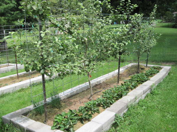 My Suburban Micro-Farm: Pink Fleshed Apples & Mini Orchards