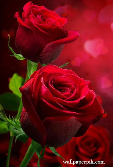 wallpaper rose ideas wallpaper hd image photos pictures of rose