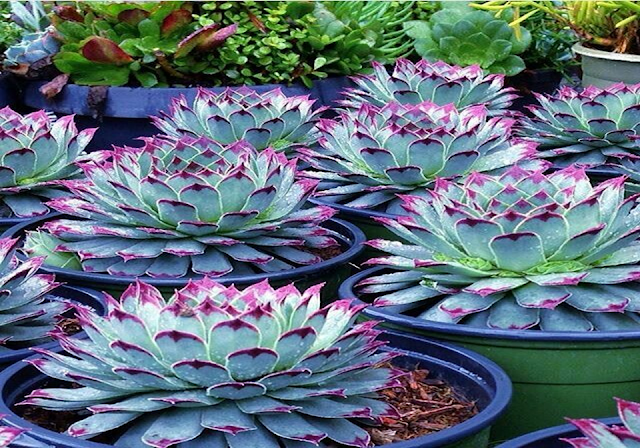 Have you thought about how to decorate your garden? What types of plants to grow? Nowadays more people are using succulent plants. This garden you can find out in indoor or outdoor gardens, even in office. To see more images open the gallery of succulent plants garden.