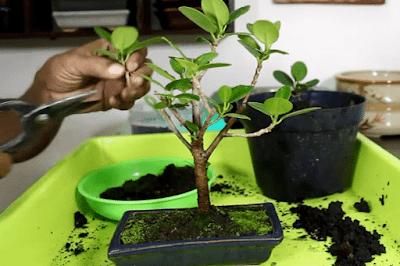 perantingan tanaman Bonsai Beringin Dolar