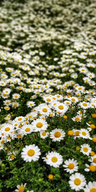 Daisies in the green grass