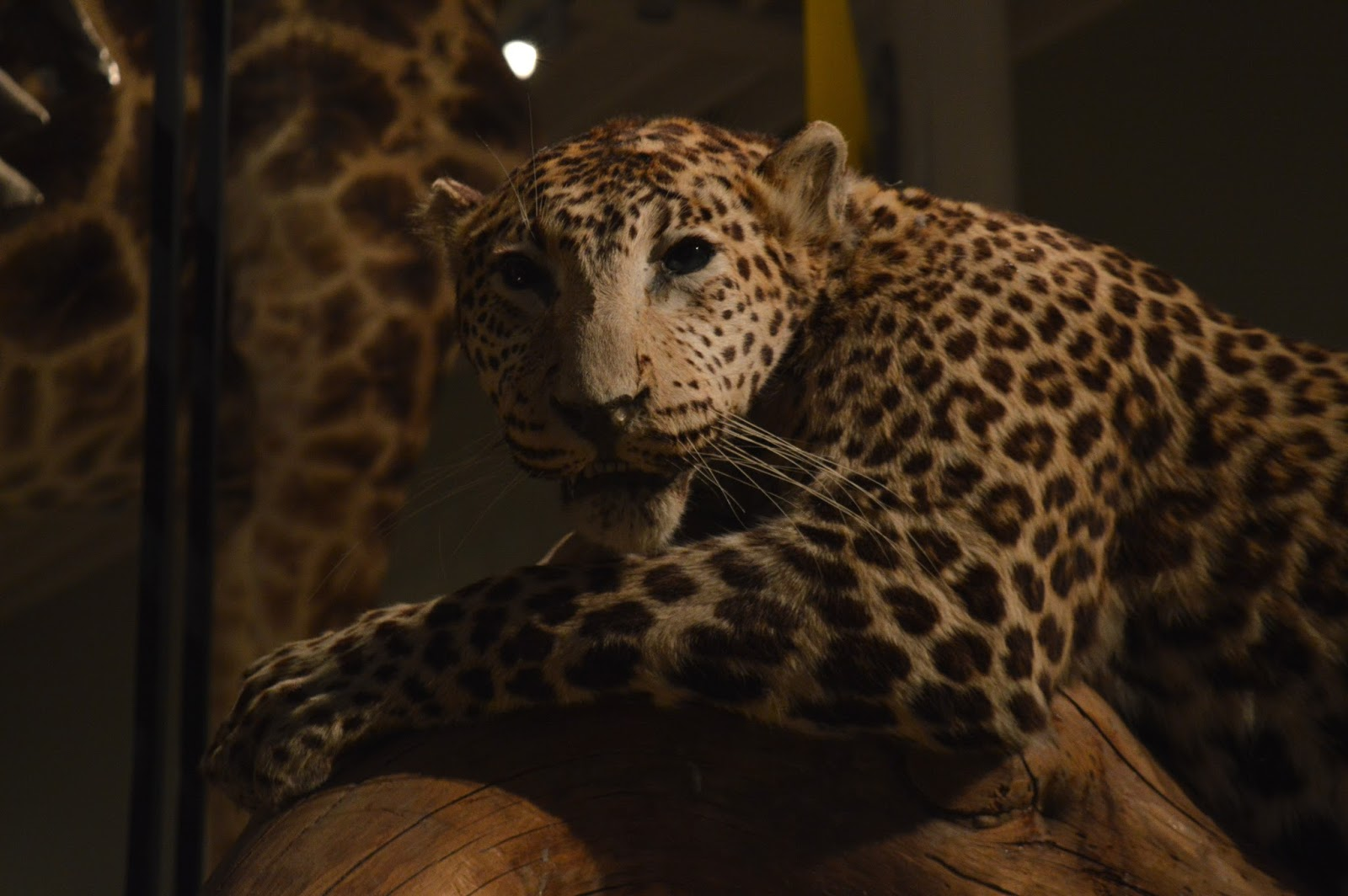 The National Museum of Scotland Leopard