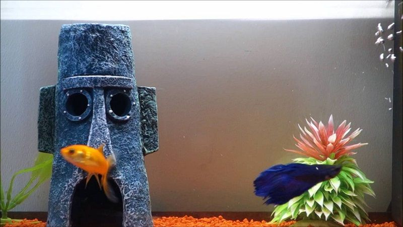 Image Can Betta Fish Live with Goldfish In One Tank