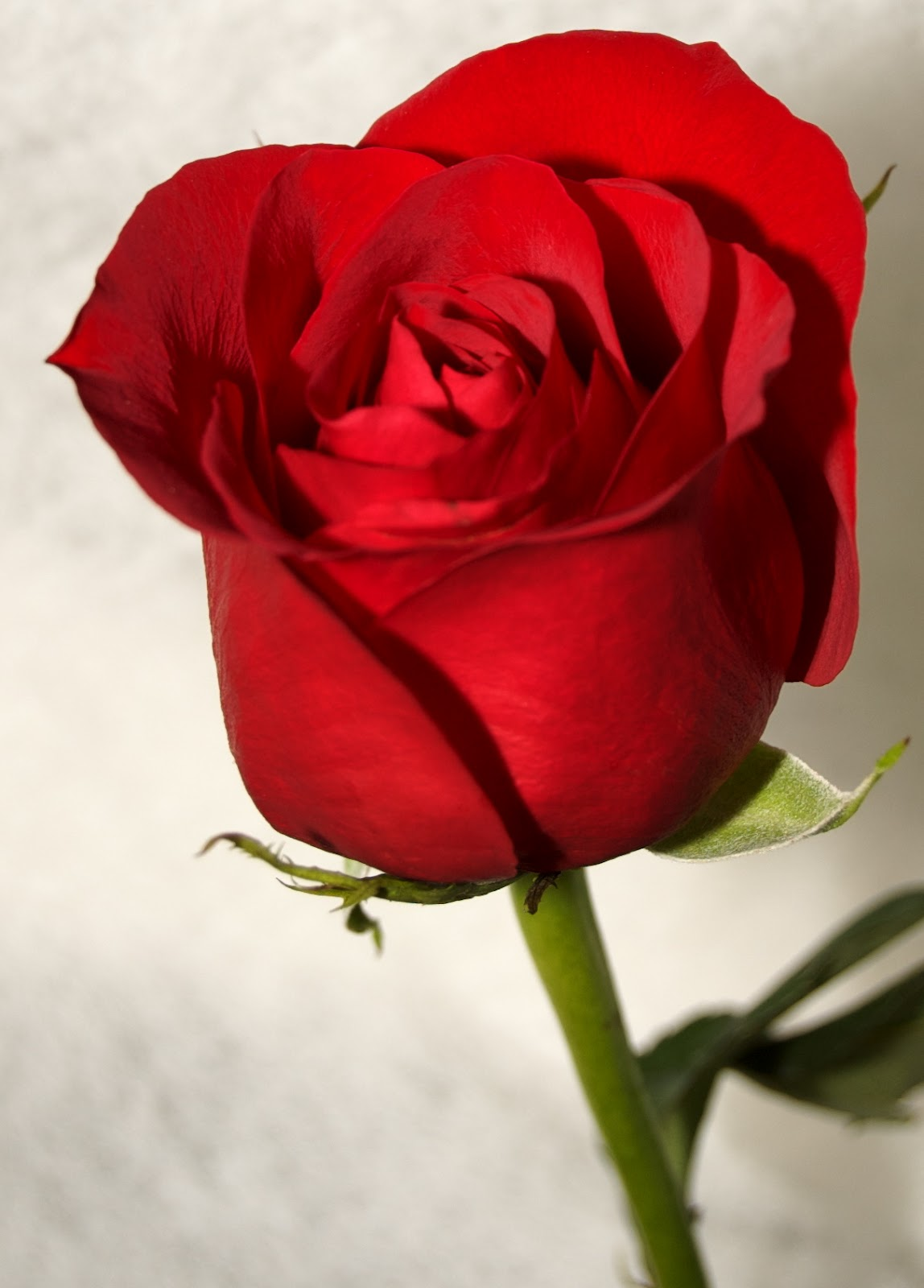 Single Red Rose Waiting For You Free Wallpaper Downloads