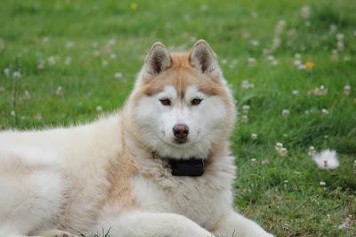 صور كلب الهاسكي