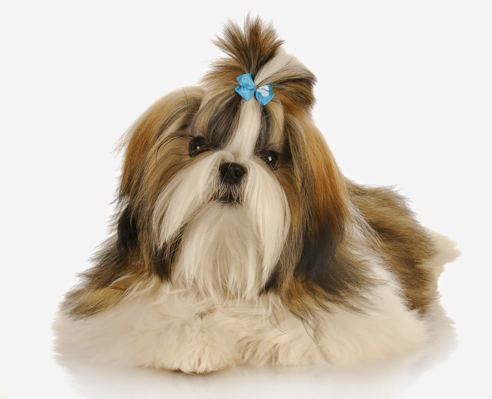 Everything about your Shih Tzu