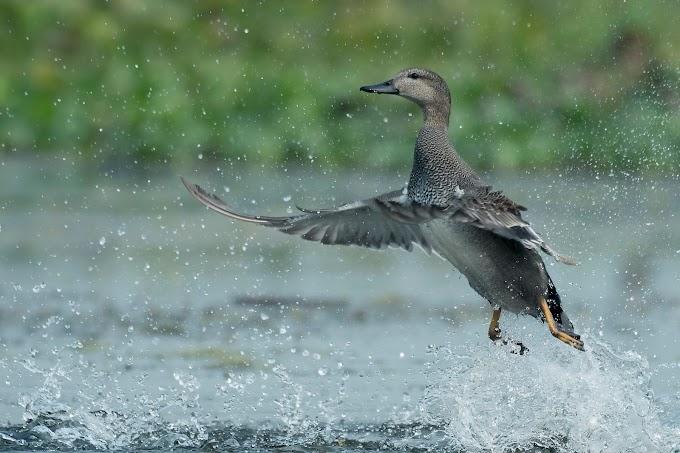 Flight of a male Gadwall Duck