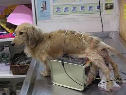 acupuntura em cães