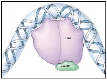 transcriptional activator, transcriptional activator adalah catabolite activator protein (CAP), cyclic AMP (cAMP), CAP