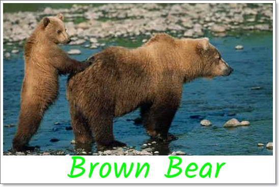Brown-Gizzly-Bear
