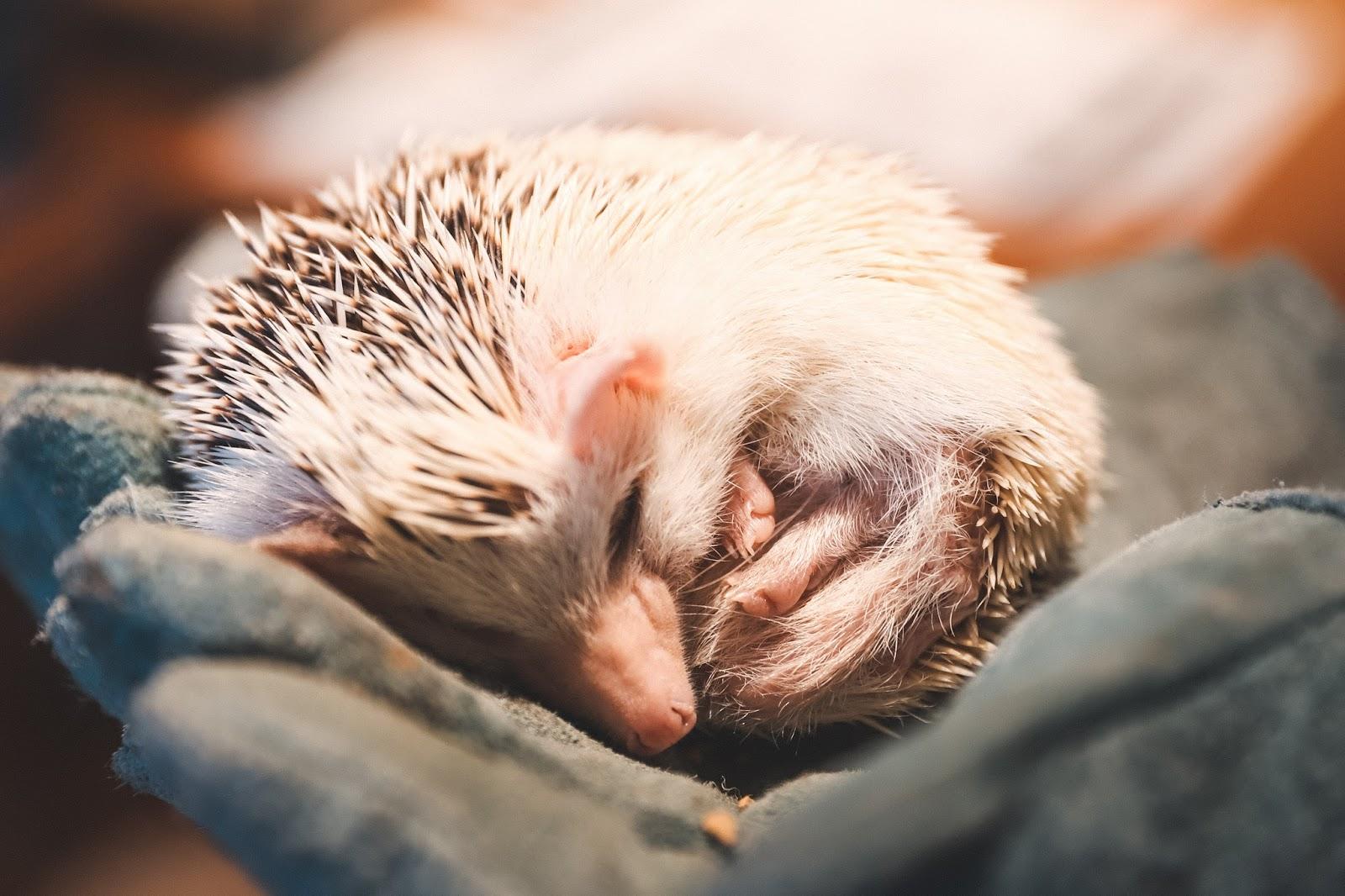 Hedgehog Cafe in Tokyo