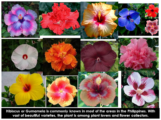Hibiscus or Gumamela is commonly known inwards well-nigh of the areas inwards the Philippines Medicinal Uses Of Hibiscus (Gumamela)