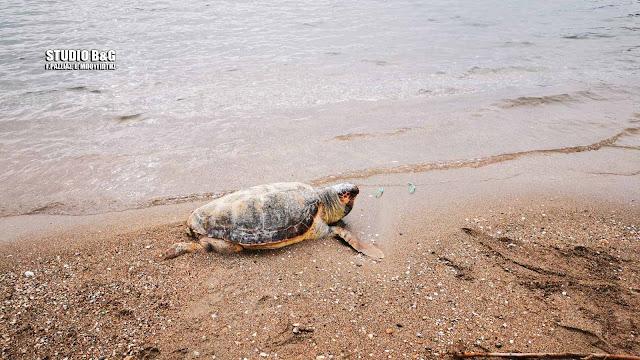 Νεκρή θαλάσσια χελώνα ξεβράστηκε στην παραλία Καραθώνας στο Ναύπλιο
