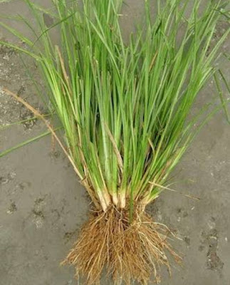 Jual Bibit Rumput Vetiver - Tukang Rumput Bogor
