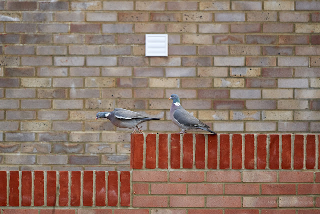 Pigeons marching on a wall taken from my window
