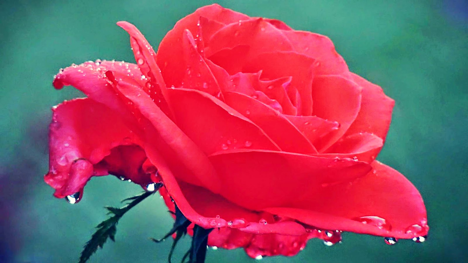 dewy-rose-wallpaper-flowers-hdlovewallpaper