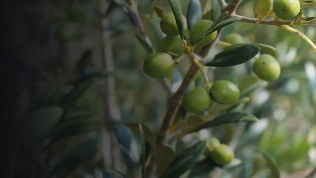Olive oil has antibacterial properties
