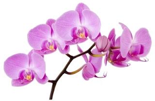 Orquídea Venezolana o Flor de Mayo