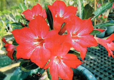 adenium Have a dream is the most beautiful