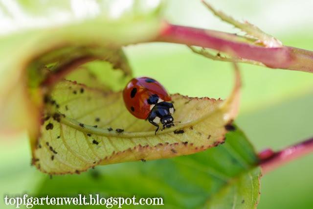 Marienkäfer frisst Blattläuse | Nützling - Gartenblog Topfgartenwelt