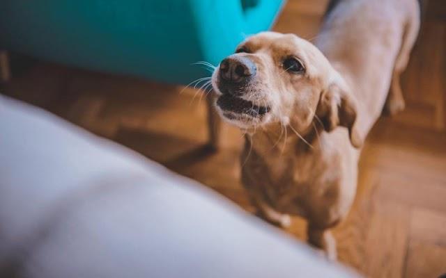 Οι 5 λόγοι που ο σκύλος σας γαβγίζει σε επισκέπτες – Πώς θα σταματήσει