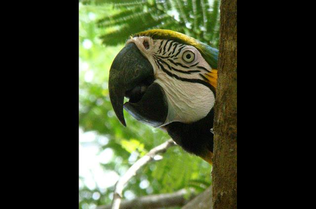 Arara-canindé - Amazonia