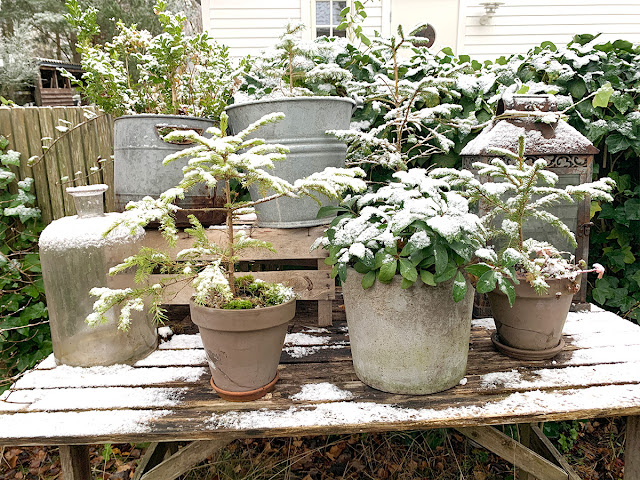 Julbord med granar i kruka och lykta