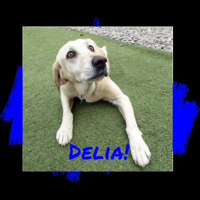 Yellow Labrador Retriever Adoption