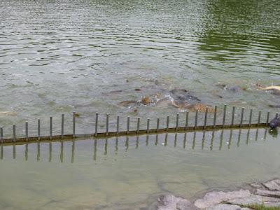 花博記念公園鶴見緑地 大池の鯉