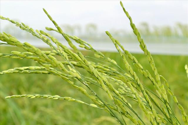Giai đoạn hạt lúa ngậm sữa.