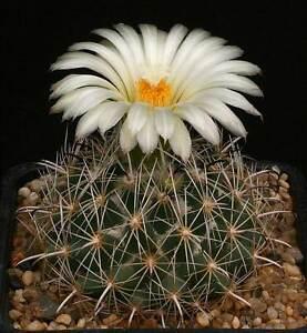 Cactus con flor margarita
