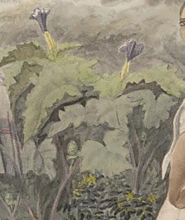 plantas desconocidas acurela siglo XIX