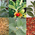 Medicinal uses of Ashwagandha (Withania somnifera)