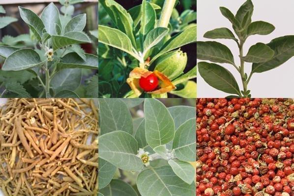 Medicinal uses of Ashwagandha (Withania somnifera)