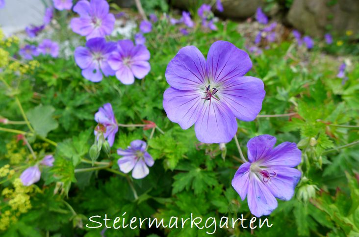 Storchschnabel-Steiermarkgarten