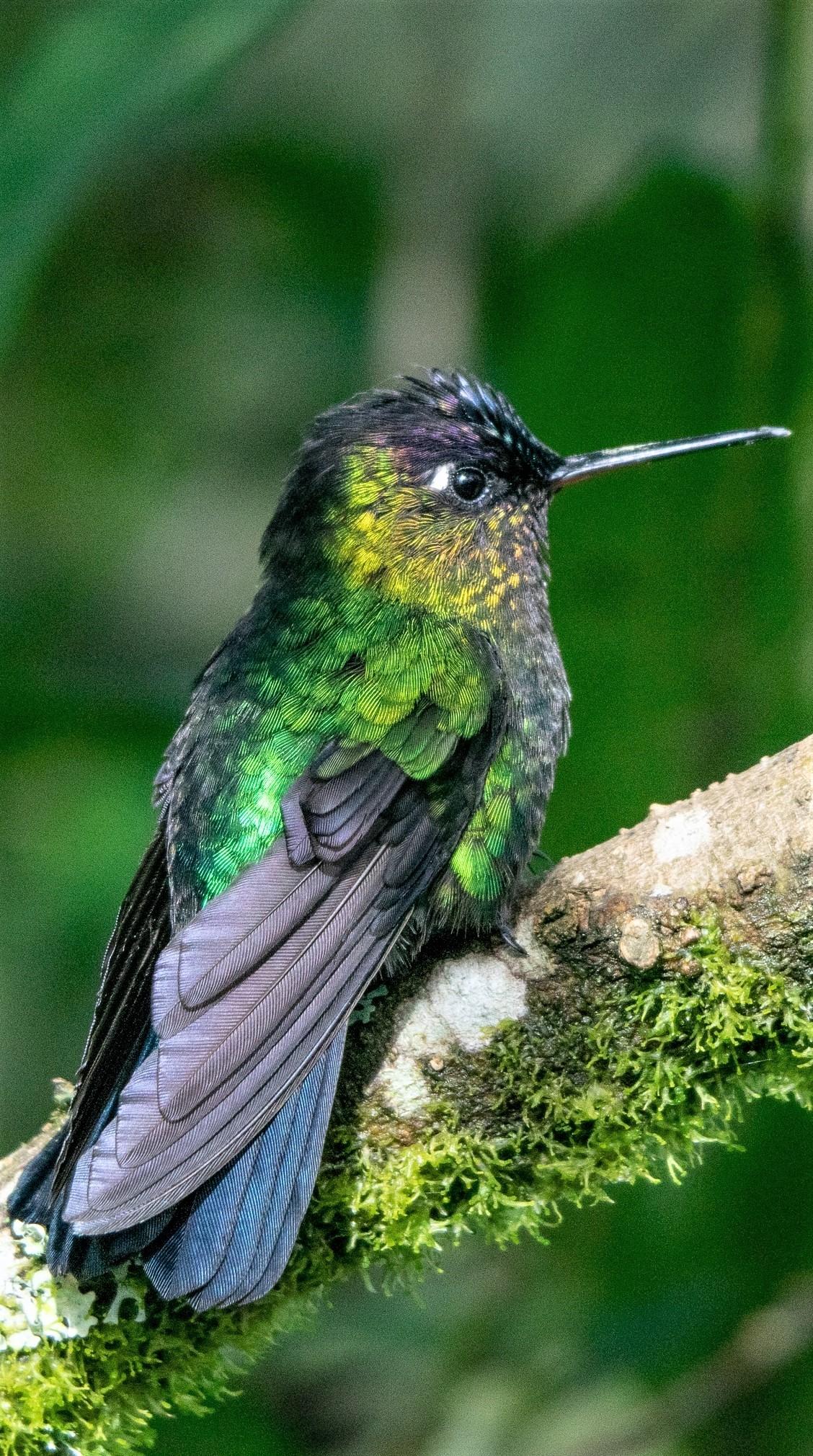Beautiful garden emerald hummingbird.