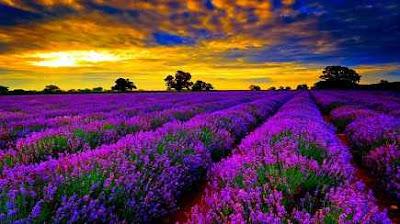 lavender field, perancis