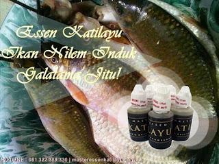Essen Katilayu Ikan Nilem Induk Galatama