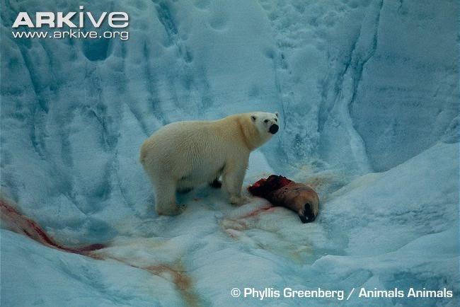 Polar bear predated bearded seal
