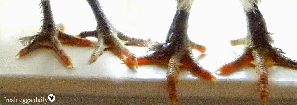 Scaly Leg Mite Natural Treatment