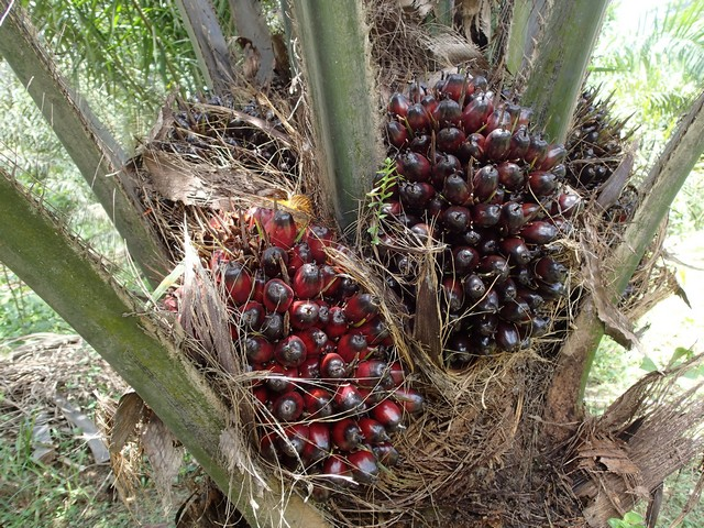 Casco Frutti Palma da Olio
