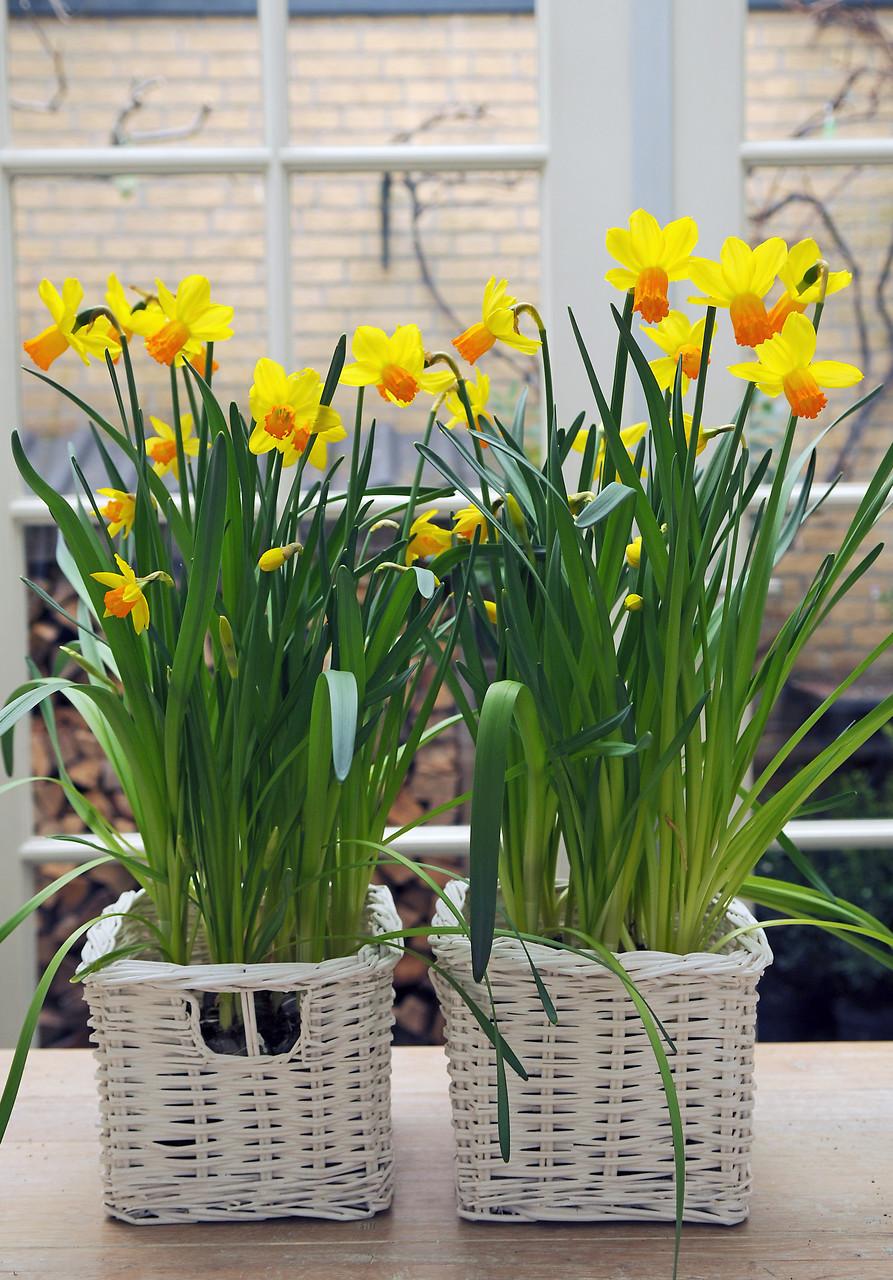 Flores amarillas de narcisos miniatura o enanos cultivados en una cesta
