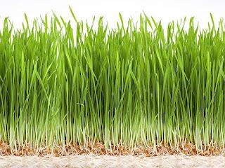 rumput-wheat-untuk-kura-kura.jpg