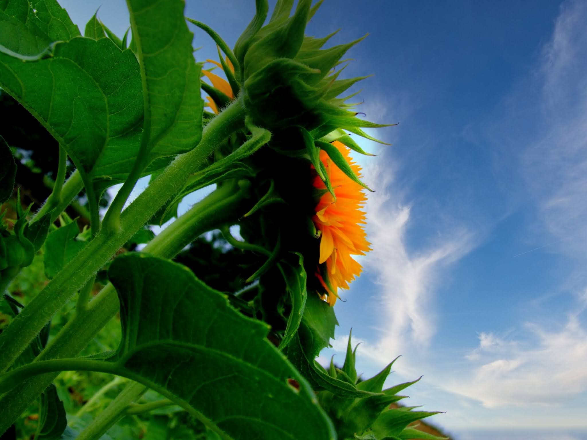 青空 黄色い向日葵(ヒマワリ) ひまわり写真素材 ゴッホのひまわり blue sky,yellow sunflower,photo stock,Van Gogh's sunflower
