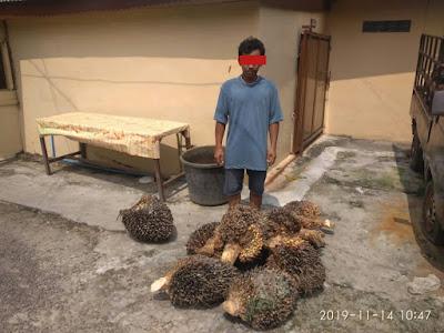 Polsek Kualuh Hulu Amankan Pria Curi  8 Tros Kelapa Sawit PTPN III Membang Muda