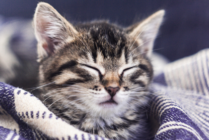 tabby cat sleeping in blanket