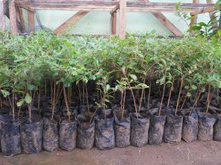 Jual Pohon Ketapang Kencana | Ketapang Varigatha